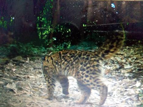 Clouded leopard_Neora